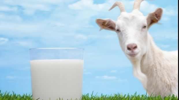 povesti cu lapte capra