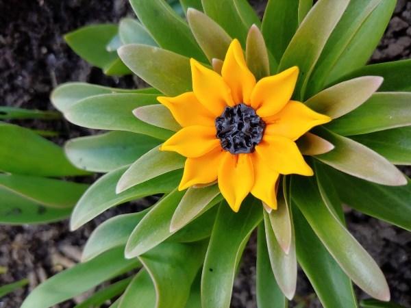 floarea soarelui nuti elena